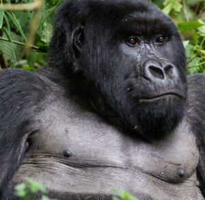Gorilla Watching in Uganda